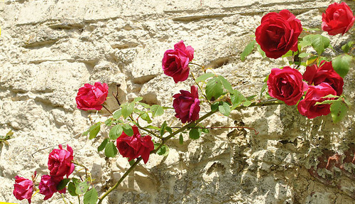 фото плетущиеся розы
