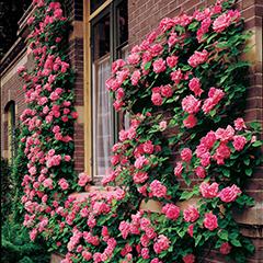 фото плетистые розы в саду