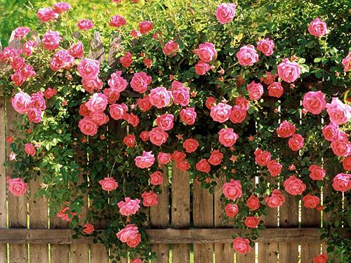 Как удобрять розы