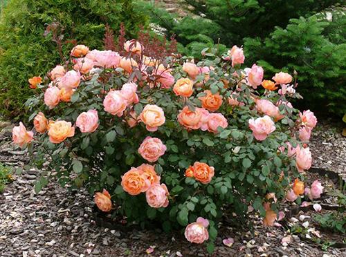 Роза в дизайне сада фото