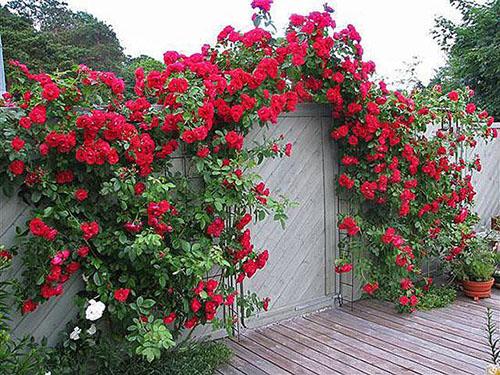 Когда можно сажать розу плетистую 129