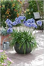уход за цветами агапантус