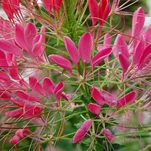 фото цветок паучник