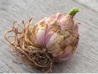 Обработка луковиц лилий перед посадкой