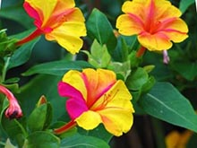 Цветок ночная красавица семян 35