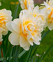 фото нарциссы цветы
