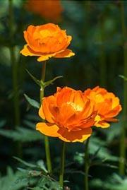 Цветы жарки