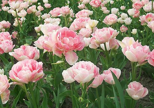 сортовые тюльпаны фото