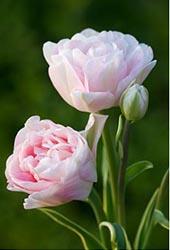 Пионовидные тюльпаны выращивание 570