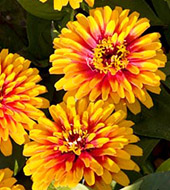 Цветы майоры