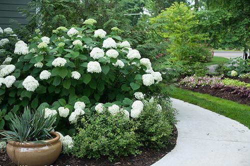 Где садить гортензию в саду
