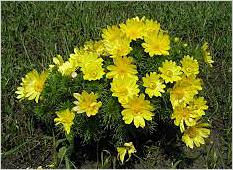 Адонис травянистое растение