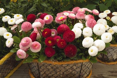 http://domiksad.net/images/plant/flowers/flowers-kn/bellis2.jpg